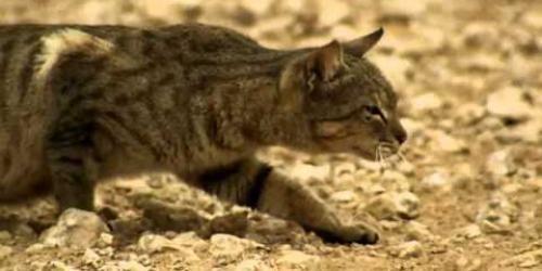 Iedere kat heeft van nature een jagersinstinct. Ondanks perfecte jachttechniek mislukt de pogingen steeds. Uiteindelijk krijgt de kat een duif tepakken.