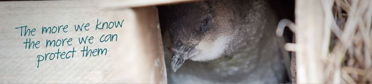 Adopt a Penguin The Penguin Foundation was established to protect and preserve one of Australia's most important natural assets - the little penguin.