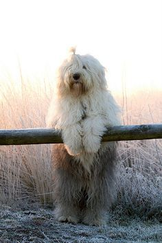 a beary winter tale ( explore * , Old English Sheep Dog,