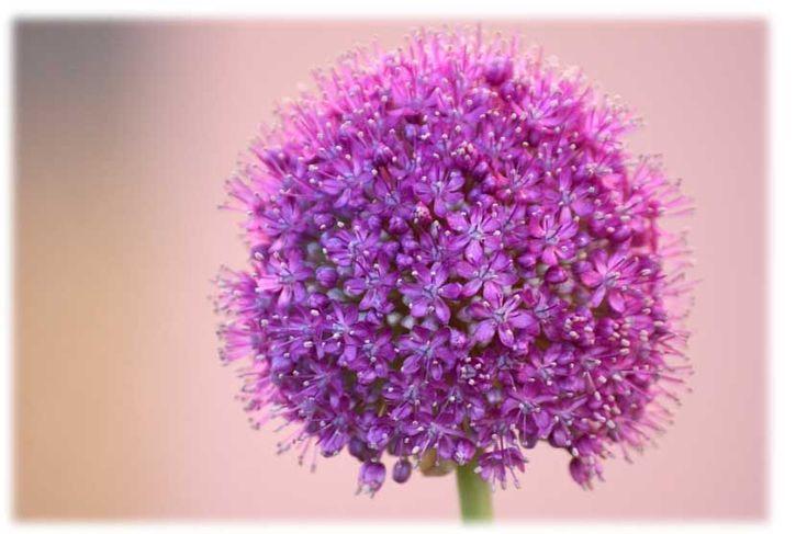 Allium+o+aglio+da+fiore
