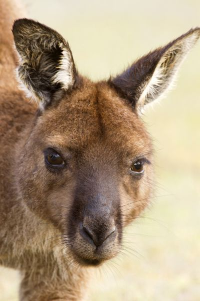 pademelon pet - photo #31