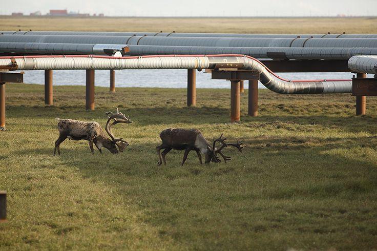#emergy #oil #Alaska #USA #landscape. http://www.abo.net/en_IT/publications/reportage/alaska_2015/alaska_2015.shtml
