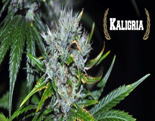 Kaligria Feminised Cannabis Seeds