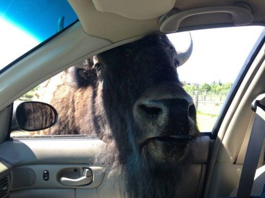 We learned the hard way that there is a reason they tell you not to stop your car in the buffalo area at the Olympic Game Farm. This guy was friendly and a little scary.
