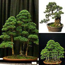 20 процента Organic Juniper бонсаи дървета Семена крушки Начало Градина Офис Decor New