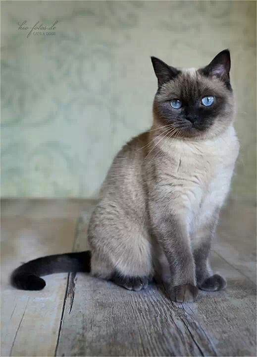 233 best images about traditional siamese cats applehead for Siamese 9 electric motor