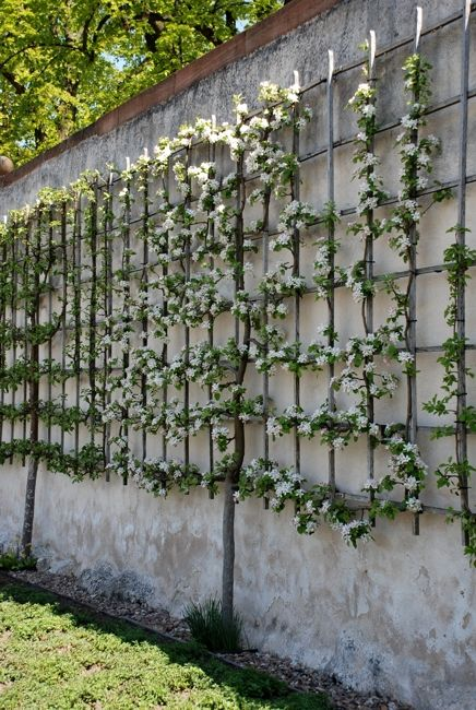 Training espalier fruit | Convent garden Seligenstadt ,Germany