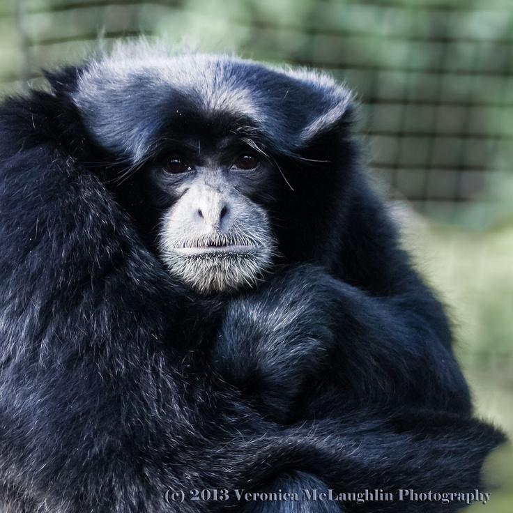 Mournful Gibbon