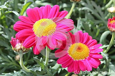 Flowering pink daisies in the spring