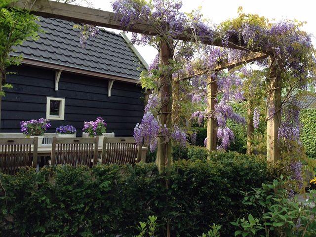 Prachtige blauwe regen onder te genieten. Vorig jaar geplaatst door Nederveen Tuinen en nu in volle bloei.
