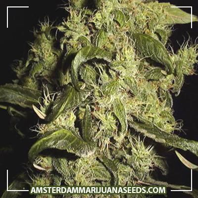 Thai Skunk seeds | The world famous Thai crossed with the Dutch champ skunk1. This strain produces large THC covered bu...