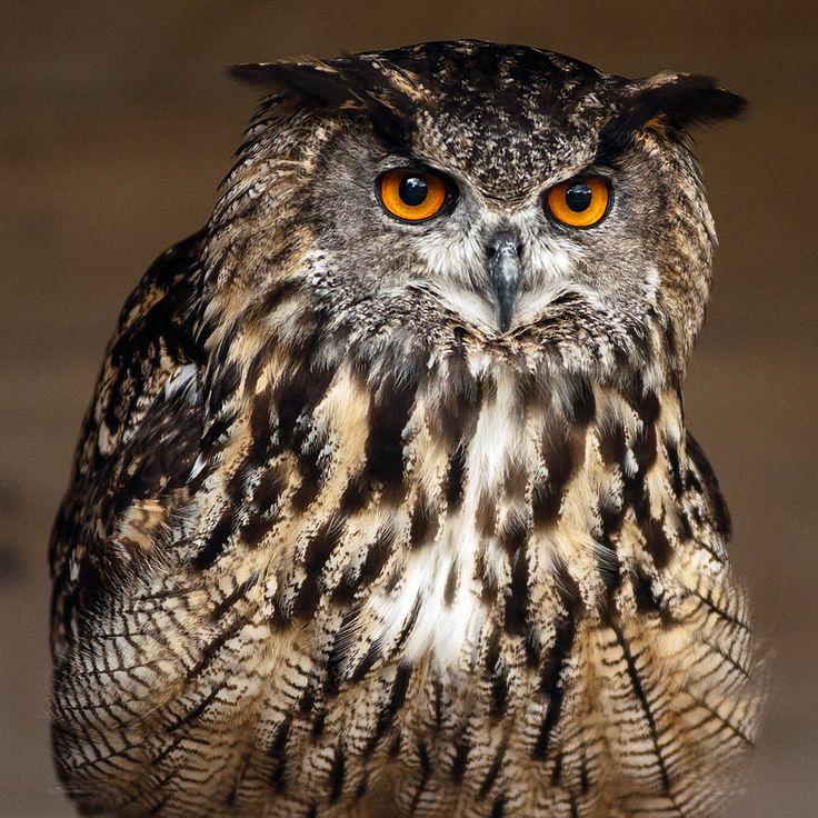 European Eagle Owl (EXPLORED)
