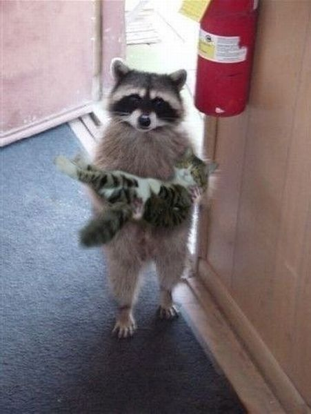 Excuse me. Is this your kitten? Lol what an adorable raccoon and