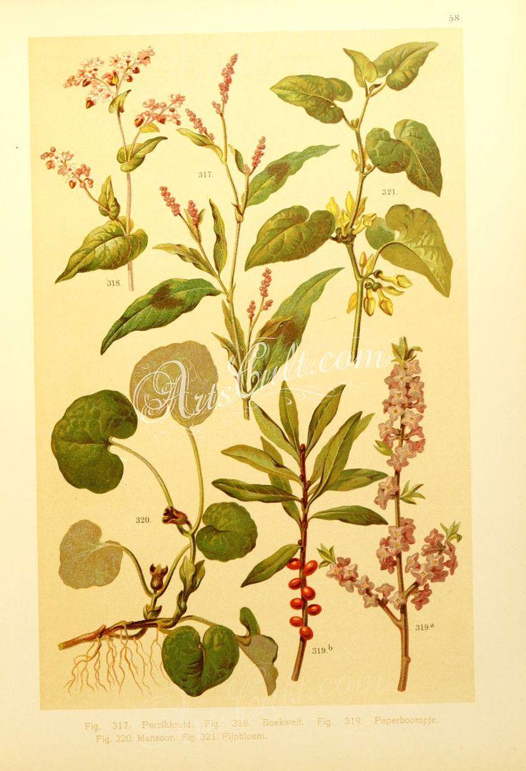 daphne mezereum, aristolochia clematitis, asarum europaeum, polygonum fagopyrum, polygonum persicaria      ...