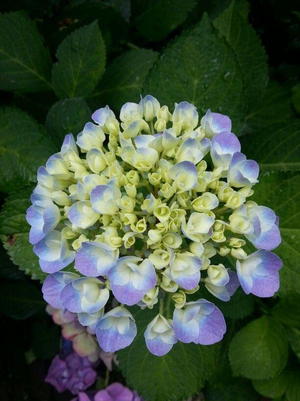 Zacht blauwe hortensia achter in de tuin