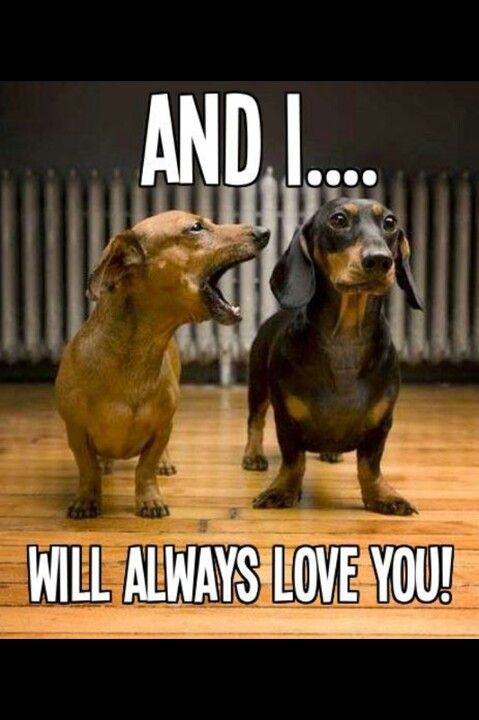 and i will always love you wiener dogs animal memes