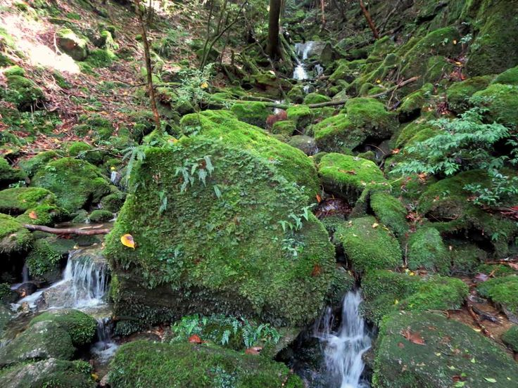 Moss-covered rocks like these are common in the Shiratani Unsuikyo Natural Forest on Yakushima Island, Japan.