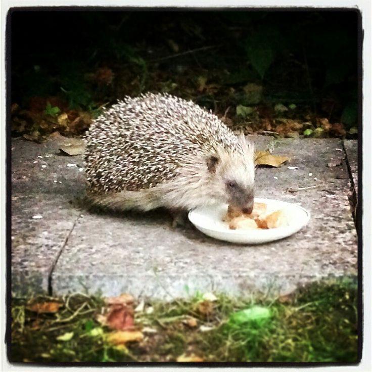 Selma the hedgehog
