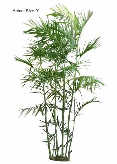 Bamboo Palm Tree - Welcome to your local online nursery, offering cheap and affordable wholesale discounted plants and palm trees, packaged and shipped around the world! RPT can help achieve your vacation resort in the comfort of your home with a great staff, full of ideas and landscape architects ready to design on any budget. Contact us at www.RealPalmTrees.com if you have questions about planting or installing or needing help importing or exporting fresh plants and palms!