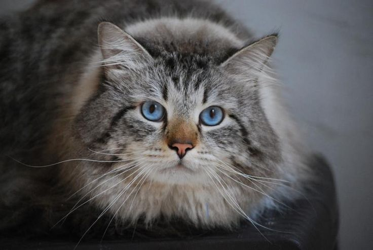 Cómo es un gato siberiano - http://www.notigatos.es/como-es-un-gato-siberiano/ #gatos