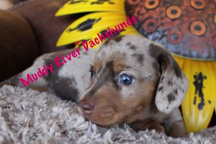 Pin By Doglove On Dachshund Dachshund Puppies Dachshund Dog