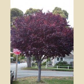 Prunus cerasifera 'Krauter Vesuvius'    - Trees - Plant Type - Boething Treeland Farms