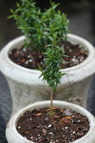 Myrtle cuttings, soon to be topiaries