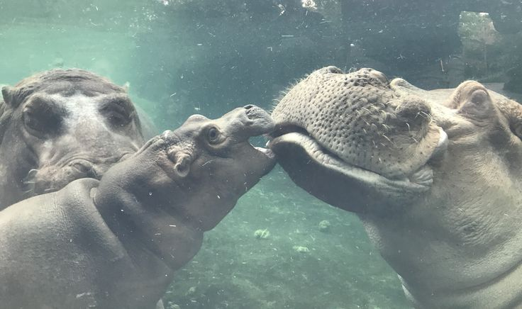 Beloved father of Fiona loses battle with chronic illness CINCINNATI, OH (October 31, 2017) – The Cincinnati Zoo & Botanical Garden is mourning the death of 36-year-old Henry, father of the famous Fiona. He had been struggling with health issues for months and had lost hundreds of pounds. According to vet staff who had been carefully monitoring him, he took an obvious downward turn in the past few days and was weak and unsteady. After an exam this morning, they...