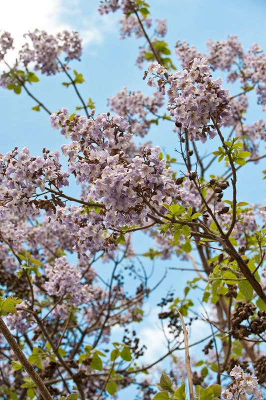 Coming to the nursery next year is the Paulownia tomentosa (fox glove tree). This hardy, deciduous tree has beautiful sprays of fragrant flowers in the spring.