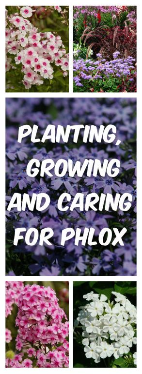 Planting, Growing, and Caring for Phlox - GardYard.com #GardYard