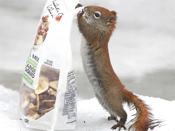 Squirrel with a bag of trail mix ~