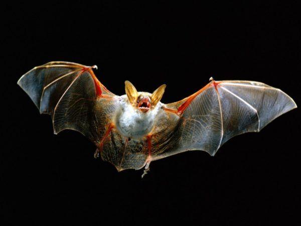 (adsbygoogle = window.adsbygoogle || []).push();    En 2001, la Universidad Estatal del Norte Fluminense, en Brasil, recibió los cuerpos de dos murciélagos gemelos unidos por el tronco de manos de una persona que los halló en la selva, junto a un árbol de mango.   Los resultados de...