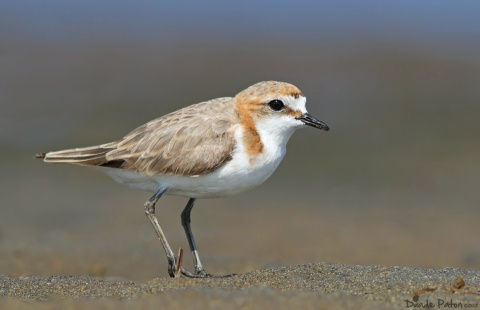 Red Caped Plover from Nowra South Coast NSW Australia on 23/12/2012
