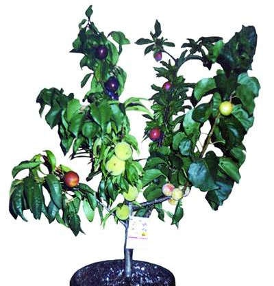 A fruit salad tree, developed by the West Family, who established the Fruit Salad Tree Company in 1990, in New England, New South Wales, Australia, bears up to six different fruits of the same family on the one plant. All fruits retain their own individuality, with staggered ripening times.
