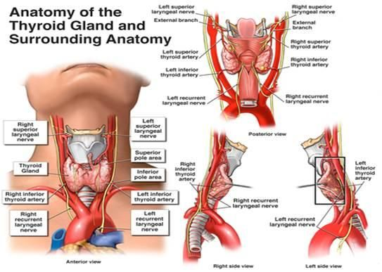 thyroid gland | ... slight swelling of the thyroid gland could trigger pinched nerve pain