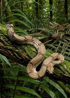 Boa Constrictor - now why do they never have a set up that looks like this?