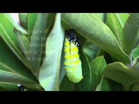 Le cycle de vie des papillons monarque - Le vidéo que j'ai créé pour mes élèves.