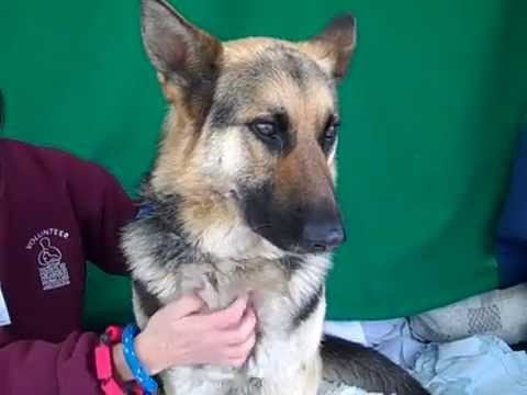 Surrendered German shepherd: Family's loss will be someone else's gain