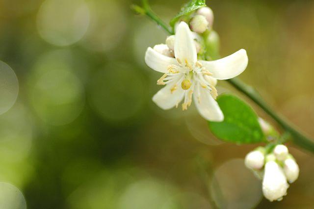レモンの花 愛の忠誠 愛に忠実 誠実な愛