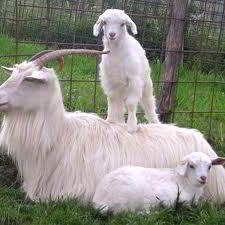 Beautiful Kashmir goatsCashmere Kids, Kashmir Goats, Fibre Animals, Farms Ish, Goats Fiber, Things Farms, Farms Animal, Kids Holding Animal, Cashmere Goats