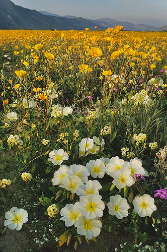 Desert wildflowers, Anza Borrego, California