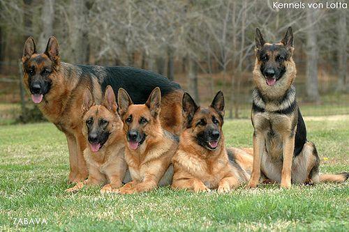 german shepherds. Loyal. Obedient. Loving. Smart