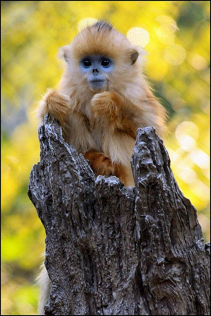 Sichuan Snub-nosed Monkey Baby (Steve Tracy Photography)