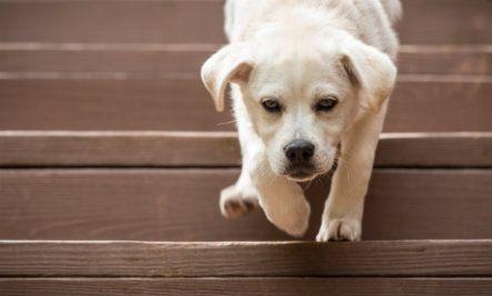 Walking Down Stairs: Dog Teaches Pup, Cat Teaches Kitten (Video)