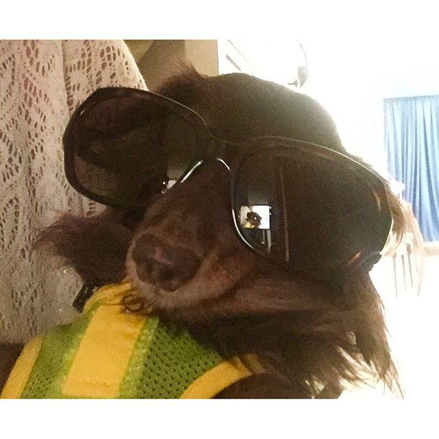 #sunglasses 😎#dubai # サングラス 🕶#ドバイ 在住  HaHaHa😂, it's too big for Chocola❗️I have to buy sunglasses for dog.  犬用サングラスを持ってないので、ママのサングラスで😎ドバイに売ってるかな🤔犬用サングラス🕶… #dog #dachshund #dogstagram #dogoftheday #dogsofinstagram #ilovemydog #instadachshund #loves_dogs #dachshundsunited #doxie #dachshundoftheday #like4like #instagood #followme #quilling #dubai #犬 #愛犬 #ダックス #クイリング #ドバイ 在住