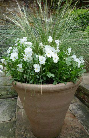 A simple combination of White Violas and Stipa Tenuissima.