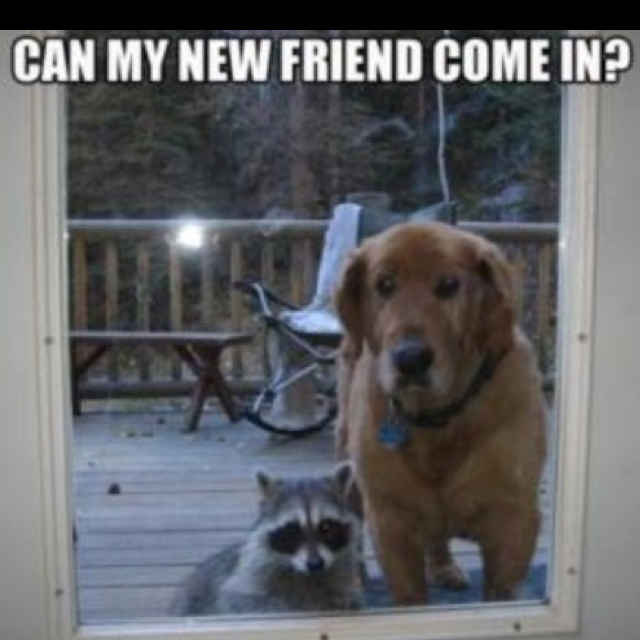 bahhahahahahha... screw the hairy dog come here my little raccoon friend :) jk dog can come too