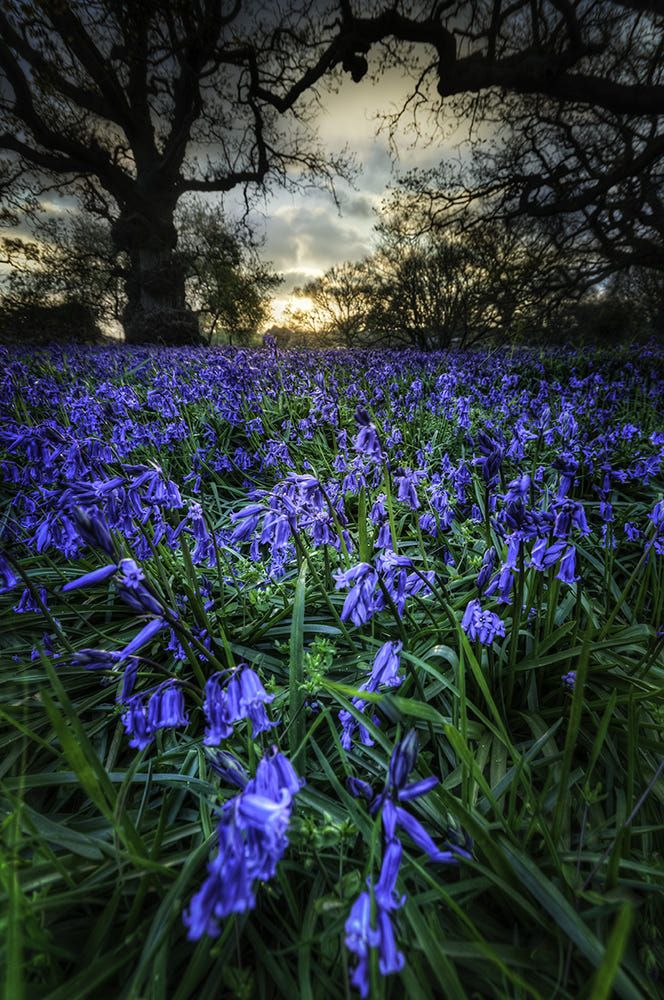 Bluebells at sunset by richard sherman on 500px