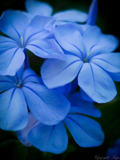 ~~Blue flower bunch ~ plumbago by UrbanWanderer~~