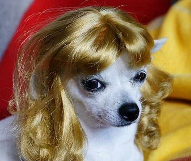 Funny Dogs with Wigs 12